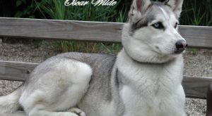 funny husky pictures | of this funny husky pictures are our dog Neo, he…