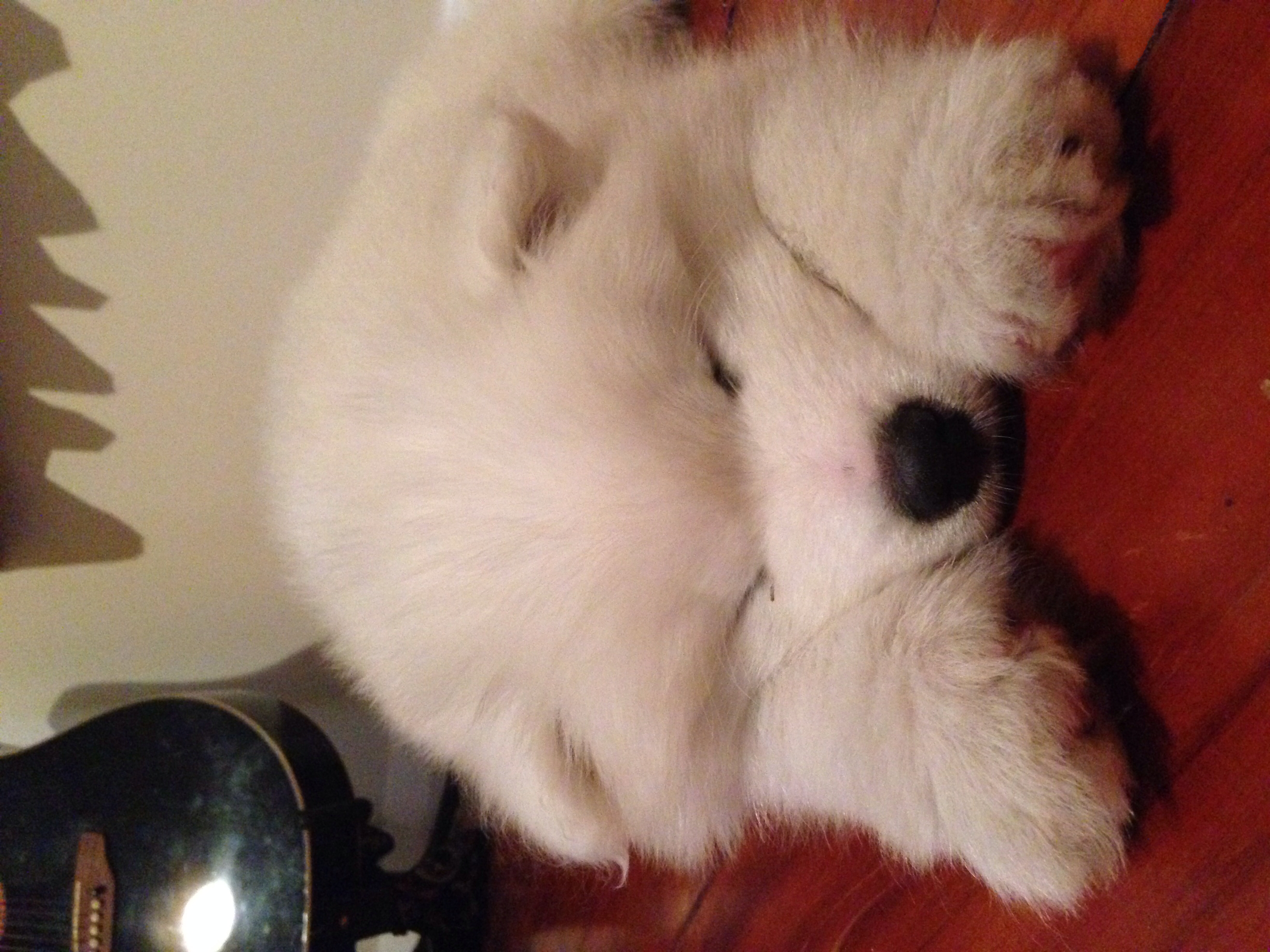 Sleeping samoyed puppy