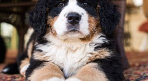 Bernese Mountain Dog ( w/o), Oley, PA • A sneak preview from my next…
