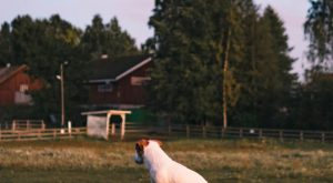 Doggo thinking she's a cat. Farm Dog on a fence. Summer sunset dog photography