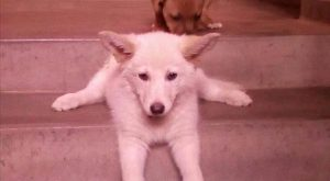 Korean Jindo, Pungsan dog, White Shepherd, Canaan Dog, Berger Blanc Suisse, Puppy, Animal,...