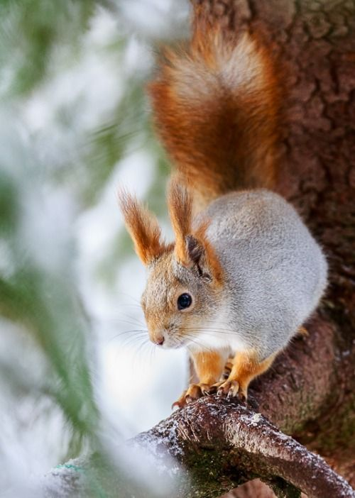 Red and white piebald squirrel