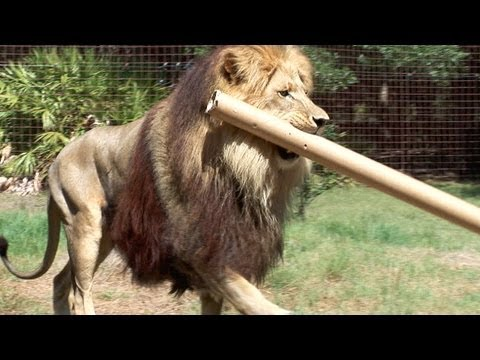 Big cats may look powerful and majestic but this doesn't mean they don't FAIL!…