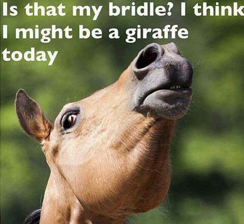 This is Chino I swear EVERY time I go to put his bridle #thatlife
