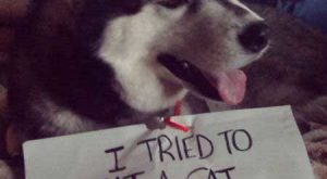 "Funny #Dog "" #Dog Picture of a Husky that is claiming that he…"