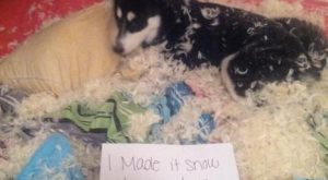 Haha. Siberian Husky pup not ashamed he made it snow!!