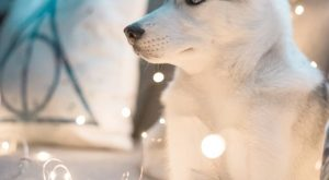 A massive collection of gifts, clothes, mugs, jewelry, everything Husky! All in the same…