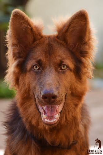Liver-colored German Shepherd ….wow
