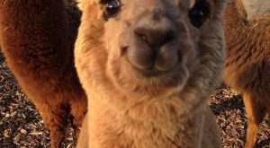 Alpacas That Will Make Your Monday