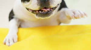 Playful Boston Terrier