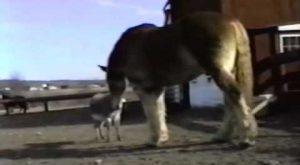 Hilarious, Donkey Yells at Huge Belgian (Clydesdale) Horse! Awesome