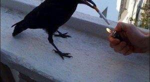 Funny Crow | Funny Pictures, Funny Images, Funny Quotes