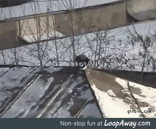 Crow enjoys sledding