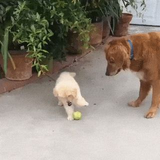 Perfect Demonstration of a Puppys Attention Span