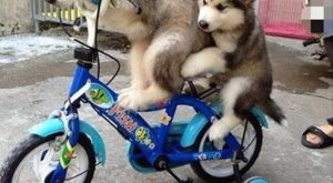 funny caption two dogs bicycle good exercise if you're a little husky