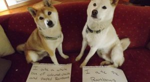 dogs-who-are-shamelessly-proud-of-what-they-just-did-