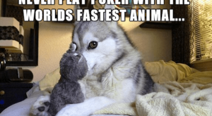 All New Hilarious Huskies With The Best Dad Jokes