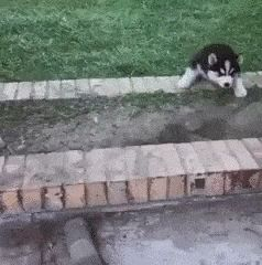 HILARIOUS! Husky puppies competing with one another!