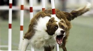 Funny Dog Pictures with Captions | Funny dog photo with caption agility weave poles