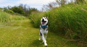 One of my favorite pictures of Griz caught in pure bliss frolicking through the