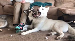 Some pups will fight over anything; as their beloved human sits on a sofa,…