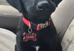 My little man, Duke! Black lab puppy with a big heart just full of…