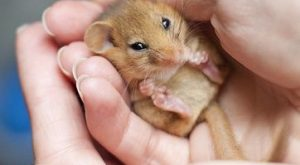 """Dormice are an endangered species and mainly found in the southern counties of Britain.…"