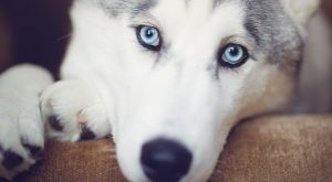 Max the Siberian Husky