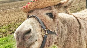 "Happy Cinco de Mayo #donkey explore Pinterest""> #donkey #donkeys explore Pinteres..."