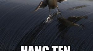 funny caption picture bird surfing wave hang ten bro
