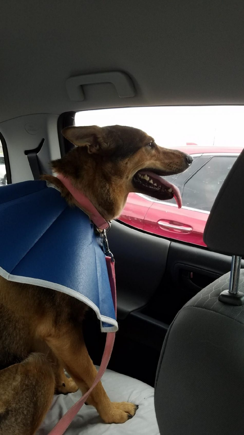 Cone of shame on the dog with no shame after running