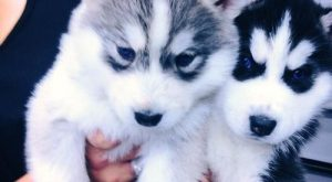 "Adorable husky puppies #GaneschaBotTest search Pinterest""> #GaneschaBotTest"