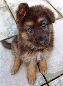 "German Shepard Puppies — CLICK Visit link above for more info #GermanShepardBaby "">…"