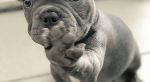 "loving this precious frenchie!! #frenchbulldog ""> #frenchbulldog #adorable ""> #adorable #puppy explore…"