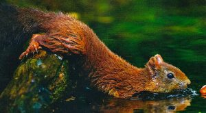 A Squirrel frantically takes to the water to rescue its dropped acorn