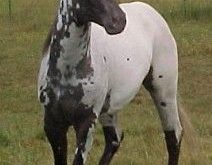 DREA JESTER RED EAGLE, DREA FOUNDATION APPALOOSA