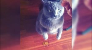 Cat Doing Trick For Treats