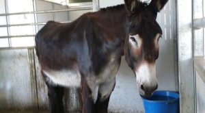 Rio the mammoth donkey