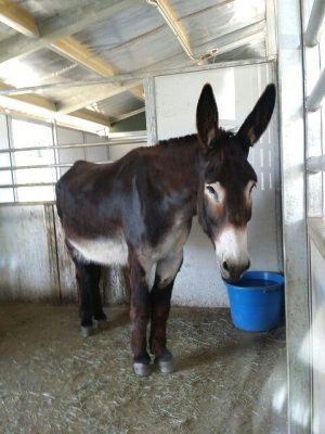Rio the mammoth donkey http://