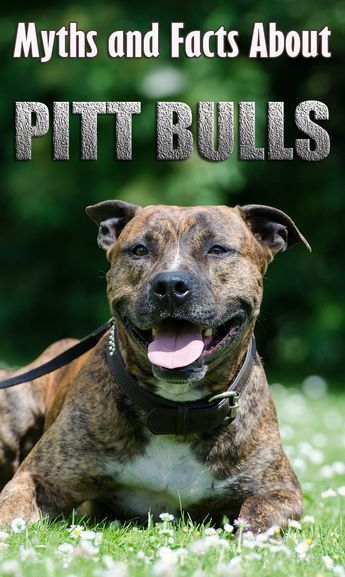 Pit Bulls: Myths and Facts About Mighty Pit Bulls What do you think of?…