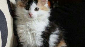Why Calico Cats are the Coolest. See below
