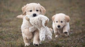 Golden Retriever #goldenretrievermix  #goldenretrievermix #goldenretriever  #goldenretriever