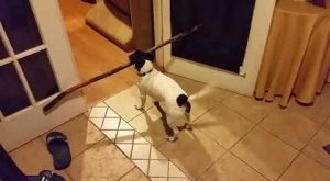 Small Dog With A Big Stick: Dog Attempts To Carry Big Stick Through Doorway