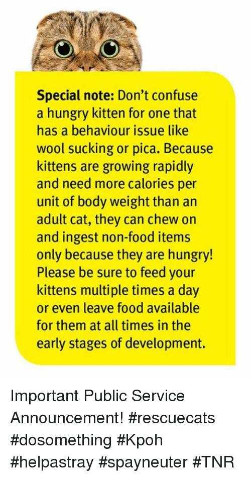 Food, Hungry, and Memes: Special note: Don't confuse  a hungry kitten for one that  has a behaviour issue like  wool sucking or pica. Because  kittens are growing rapidly  and need more calories per  unit of body weight than an  adult cat, they can chew on  and ingest non-food items  only because they are hungry!  Please be sure to feed your  kittens multiple times a day  or even leave food available  for them at all times in the  early stages of development. Important Public Service Announcement! #rescuecats #dosomething #Kpoh #helpastray #spayneuter #TNR