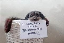 "Smelly socks! #dogsfunnyshaming "" #dogsfunnyshaming"