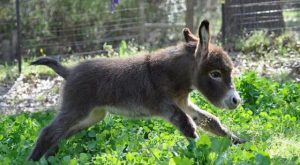 This is not a pony. No, this is a little donkey. A happy donkey,…