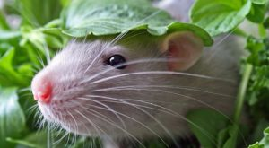 To celebrate World Rat Day, we've decided to show you that pet rats can…