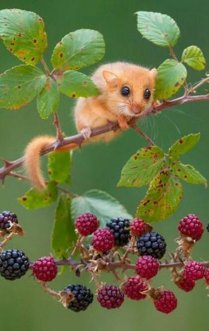 Animals that Start With D – (Dormouse)