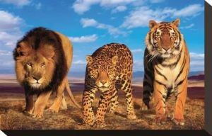 Stretched Canvas Print: Three Big Cats Canvas Print : 7x11in