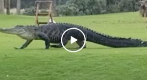 Massive alligator spotted on golf course (Video)